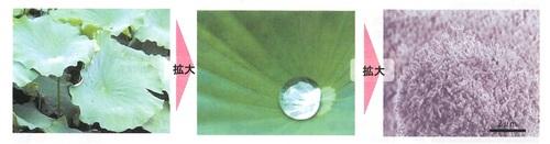 ハスの葉.jpg